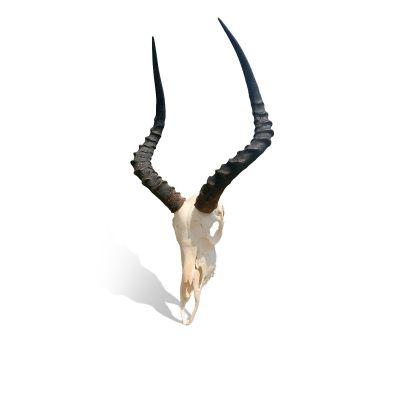 Brand New AFRICAN TROPHY Impala FULL SKULL Impala Horns TAXIDERMY ANIMAL SKULL SAFARI