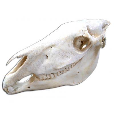 Real Zebra Skull African Zebra Full Skull Animal Skull African Zebra Real Skull