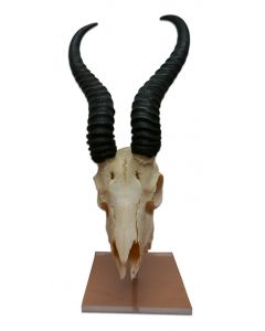 Real Springbok Skull on Acrylic Stand African Antelope Horns - African Antelope